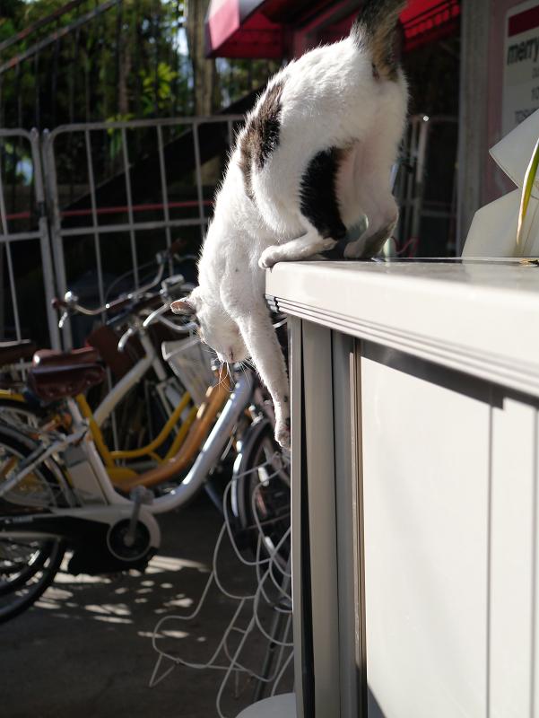 物置から降りる白キジ猫2