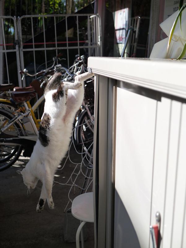 物置から降りる白キジ猫3