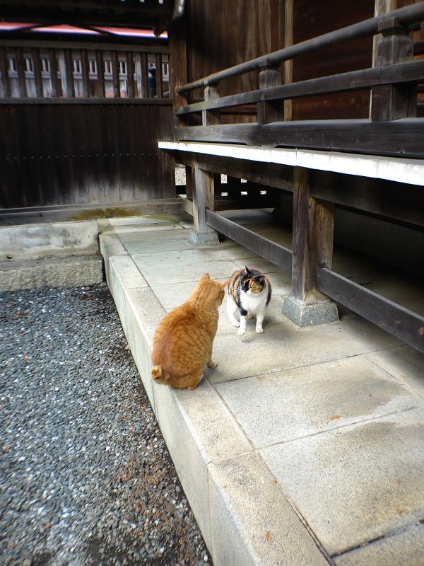 三毛猫に説教されてる茶白猫3