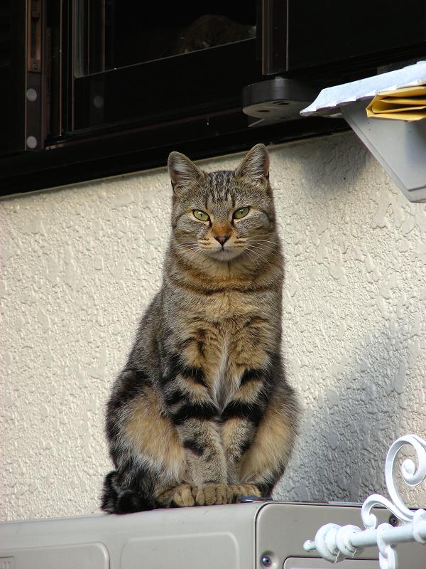 民家窓の下のキジトラ猫3