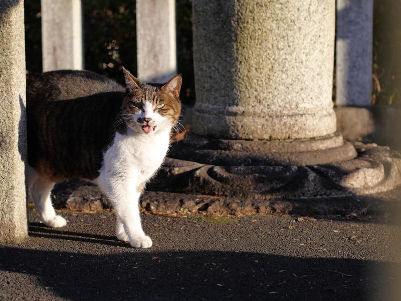 玉垣のキジ白猫2