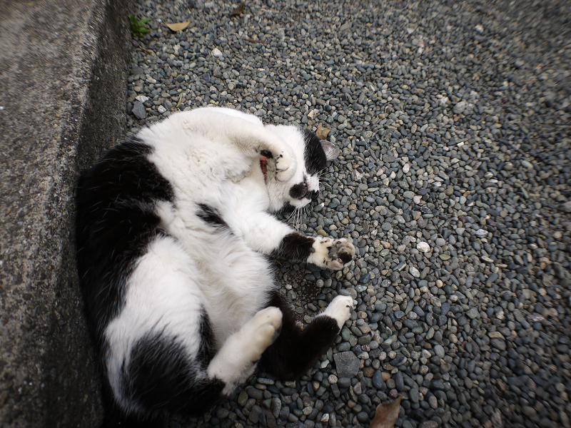 玉砂利で転がる白黒猫