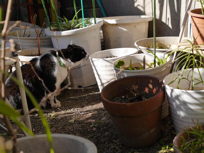 花バケツと黒白猫2