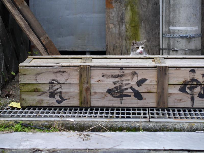 木箱とグレー白猫1