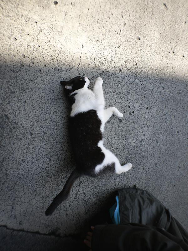 足元で転がってる黒白猫1