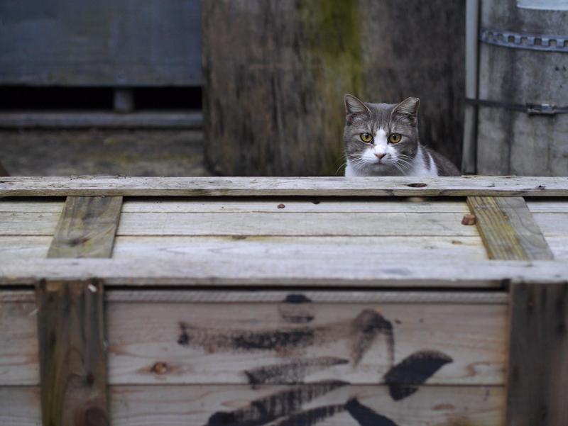 木箱とグレー白猫2