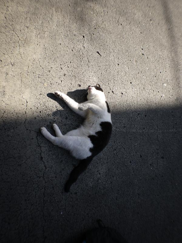 足元で転がってる黒白猫3