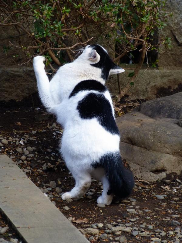 いきなりパッツンの白黒猫