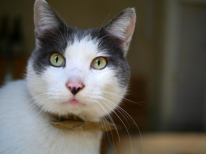 お店の中にいた白キジ猫3