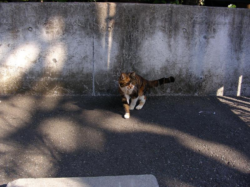 駐車場で寄ってくる三毛猫1