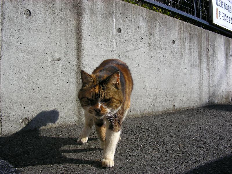駐車場で寄ってくる三毛猫2
