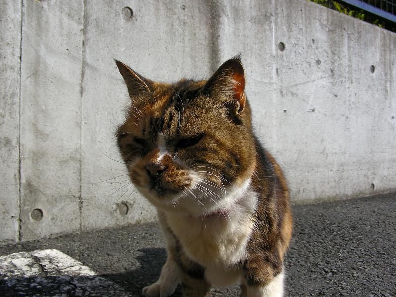 駐車場で寄ってくる三毛猫3