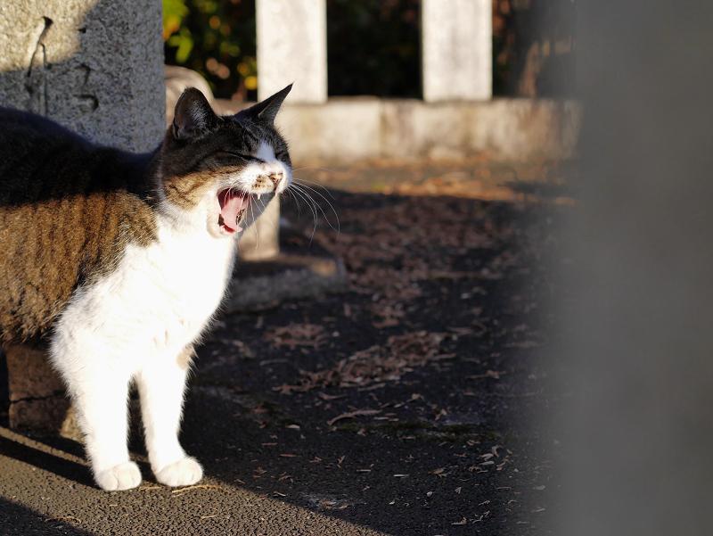 玉垣でアクビするキジ白猫1