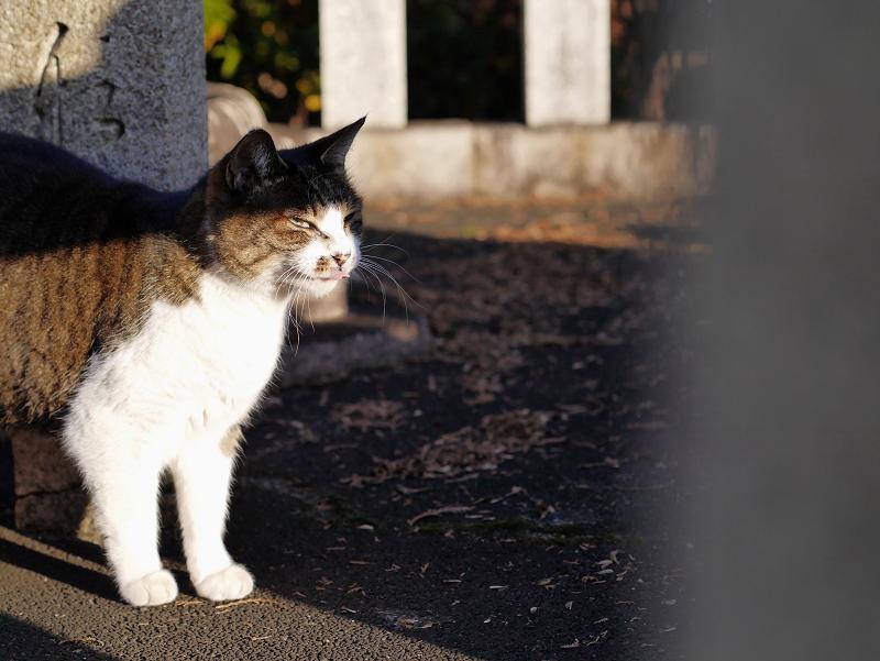 玉垣でアクビするキジ白猫2