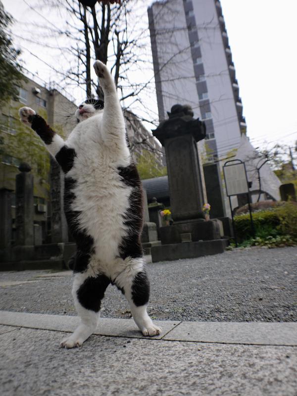 境内で暴れる黒白猫2