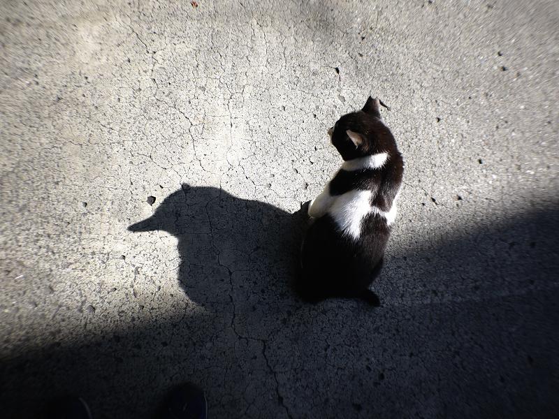 影がペンギンの黒白猫