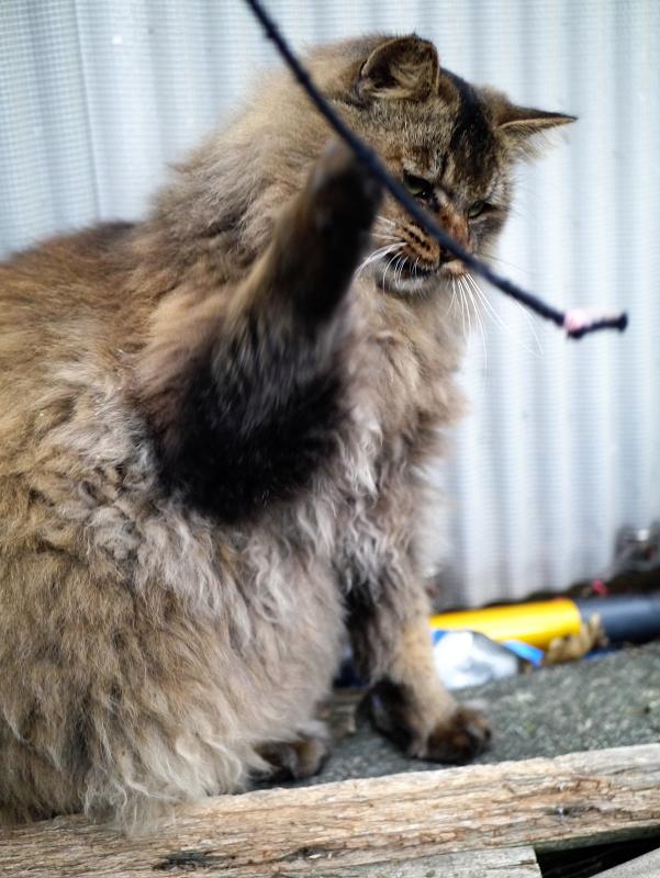 ゴム紐で遊ぶ毛長の猫2