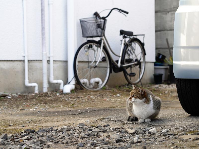 商店街の駐車場にいたキジ白猫1
