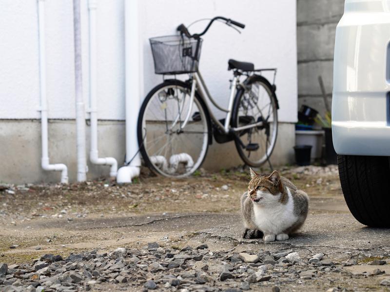 商店街の駐車場にいたキジ白猫2