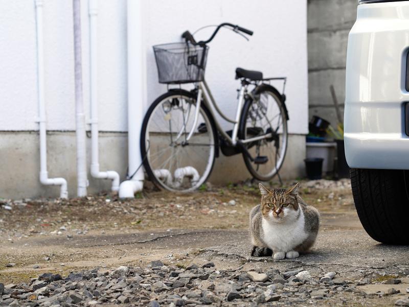 商店街の駐車場にいたキジ白猫3