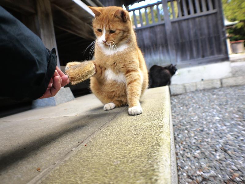 タワシで遊ぶ茶白猫3