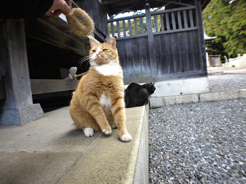 タワシで遊ぶ茶白猫4