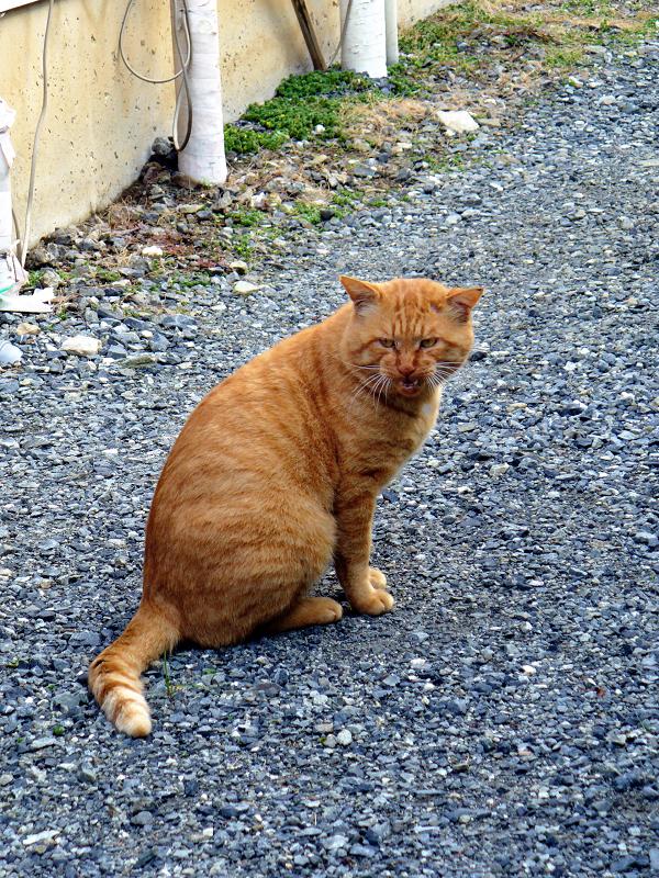 振り返って鳴きまくる茶トラ猫1