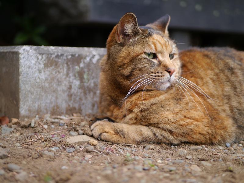 風景と同系色のサビ柄猫1