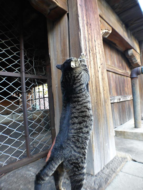 濡れ縁の柱で爪を研ぐキジトラ猫1