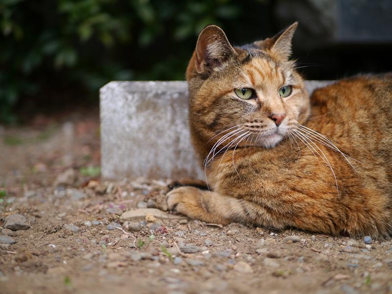 風景と同系色のサビ柄猫2