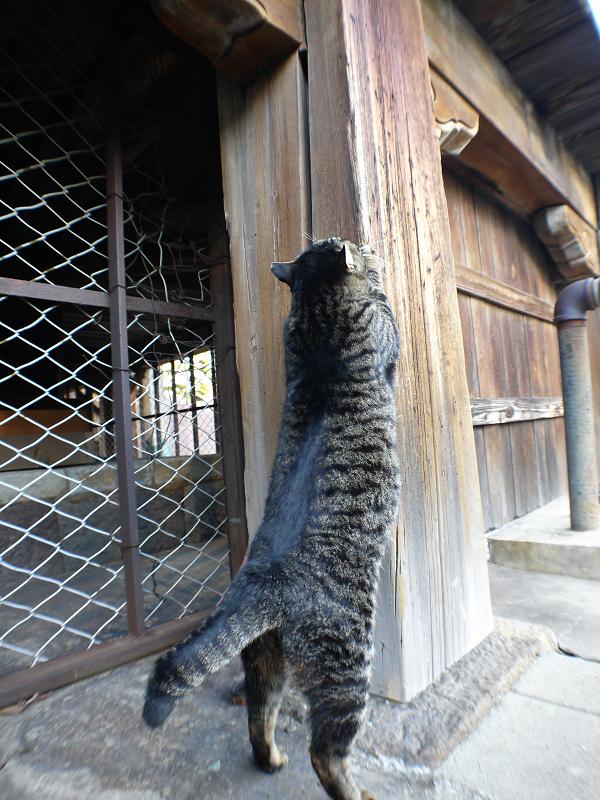 濡れ縁の柱で爪を研ぐキジトラ猫2