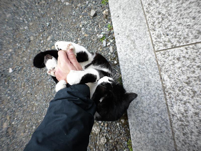 私の腕を噛みまくる黒白猫3