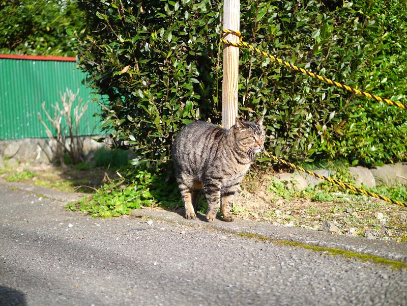 裏路地で再会したキジトラ猫1