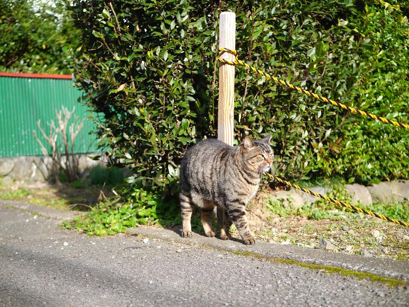 裏路地で再会したキジトラ猫2
