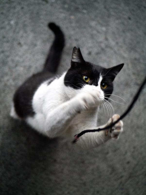 ゴム紐を凝視する黒白猫2