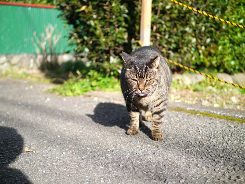 裏路地で再会したキジトラ猫3