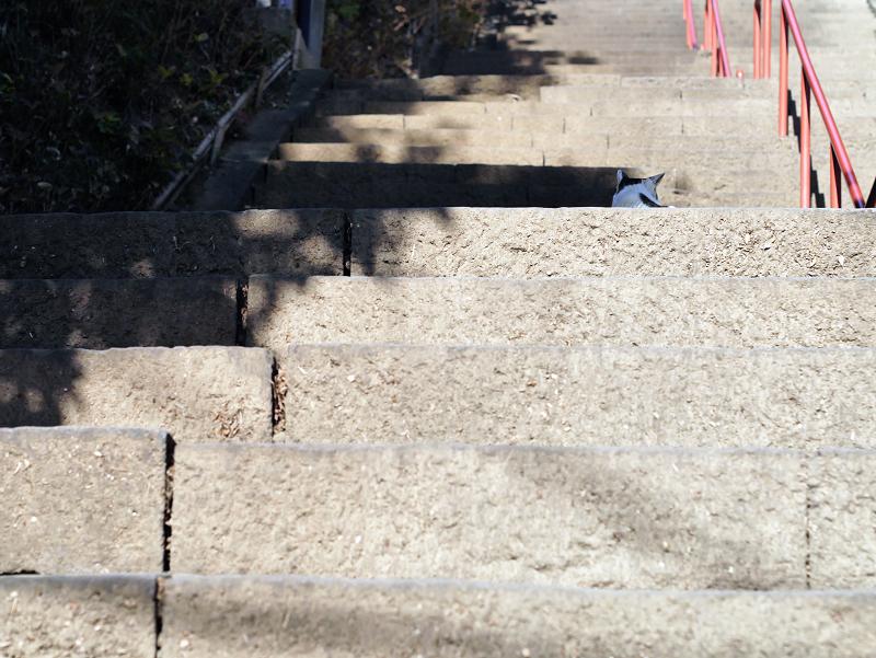 お寺の階段で出会ったキジ白猫1