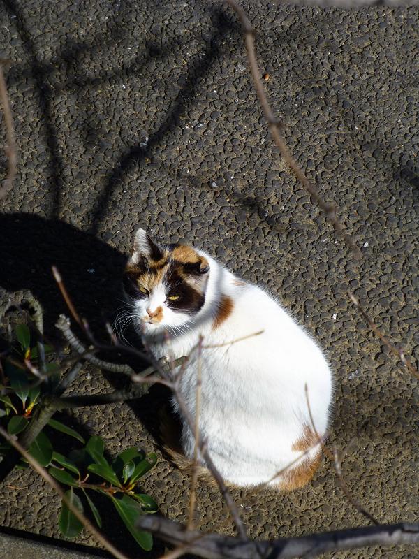 仰ぎ見る白三毛猫1