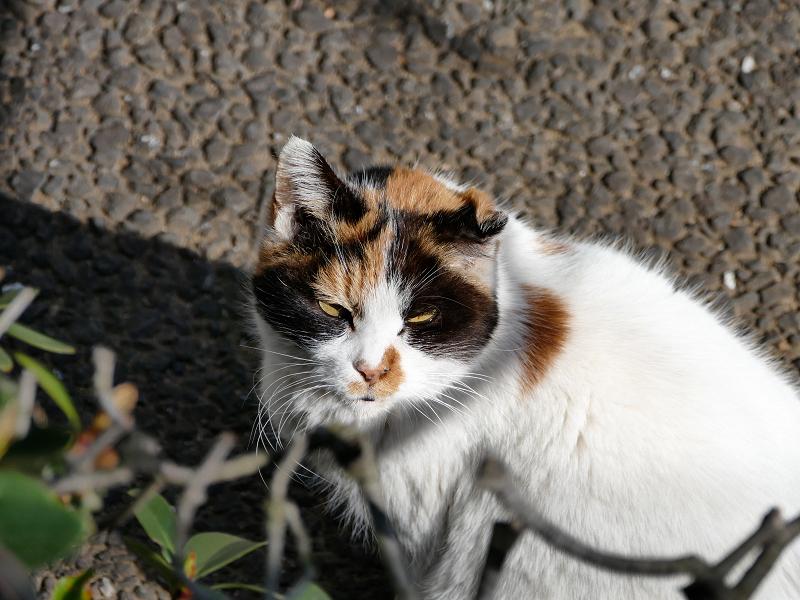 仰ぎ見る白三毛猫2