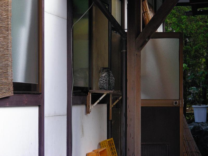 蕎麦屋店先の猫1