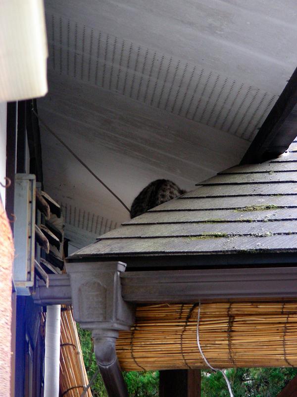 蕎麦屋店先の猫2