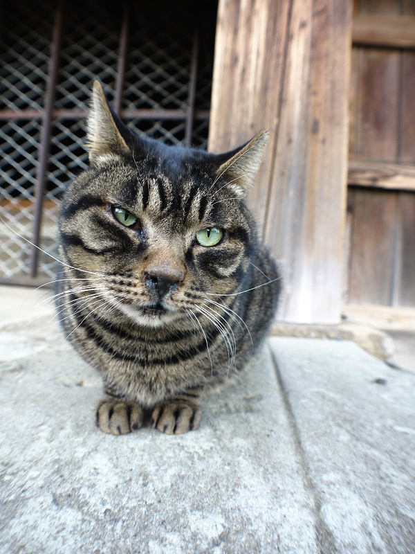 お寺境内のキジトラ猫の表情1