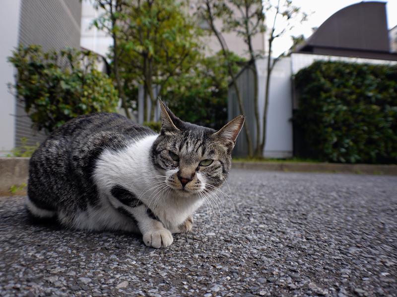大人顔のキジ白猫1