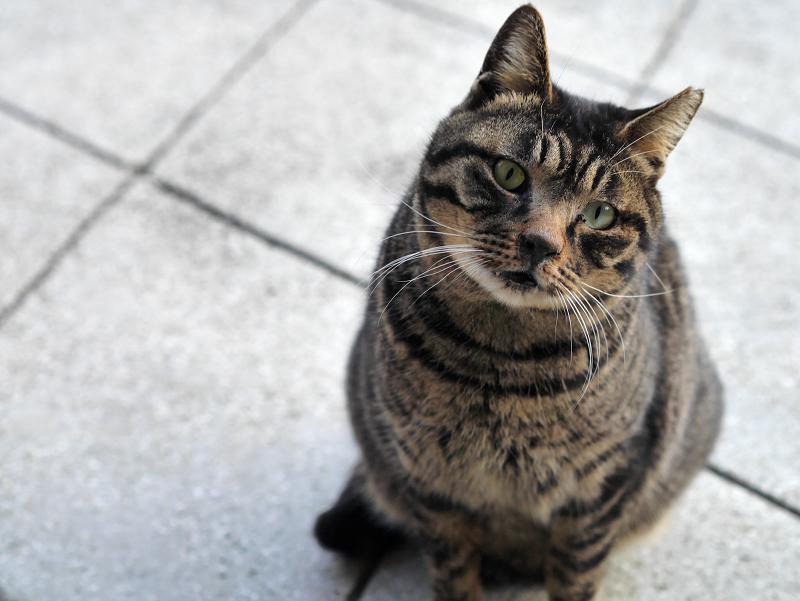 お寺境内のキジトラ猫の表情2