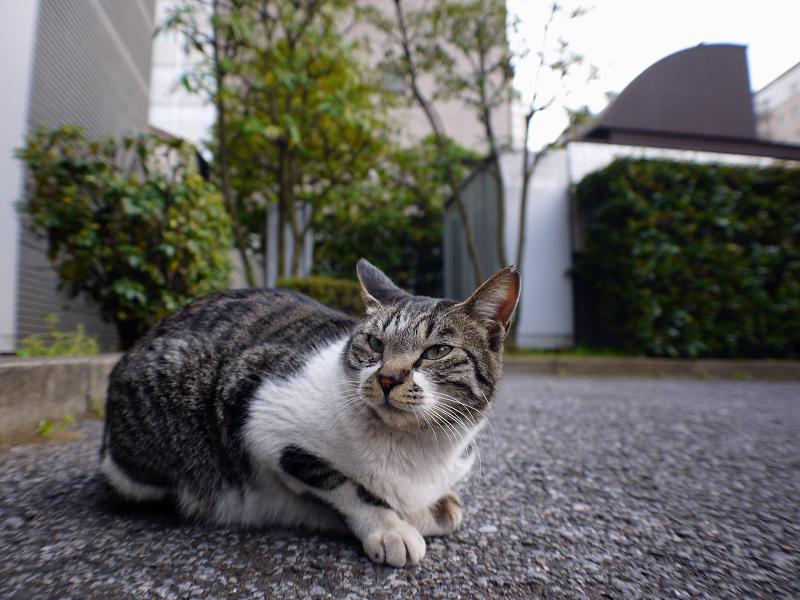 大人顔のキジ白猫2
