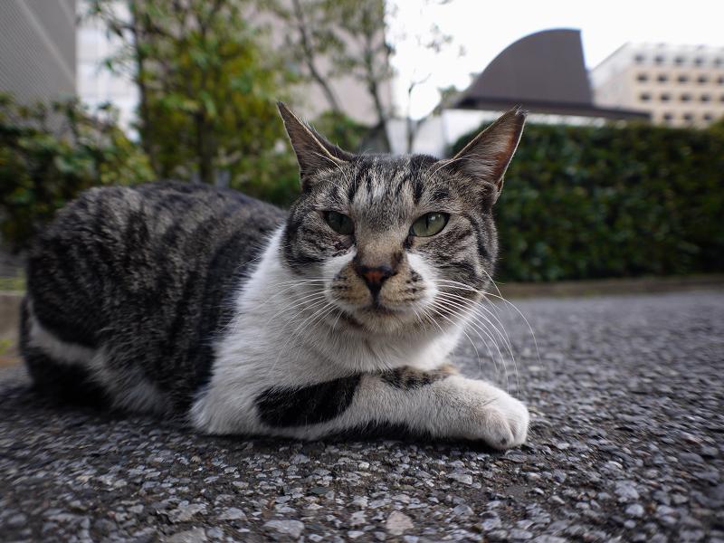 大人顔のキジ白猫3