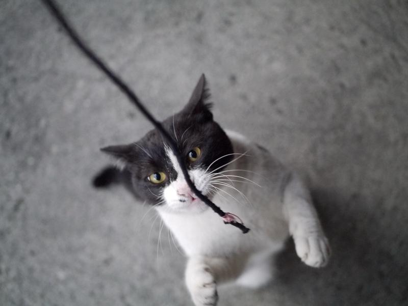 ゴム紐に飛びかかる黒白猫1