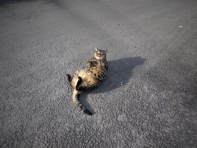青空の下路地で転がるデカイキジトラ猫1