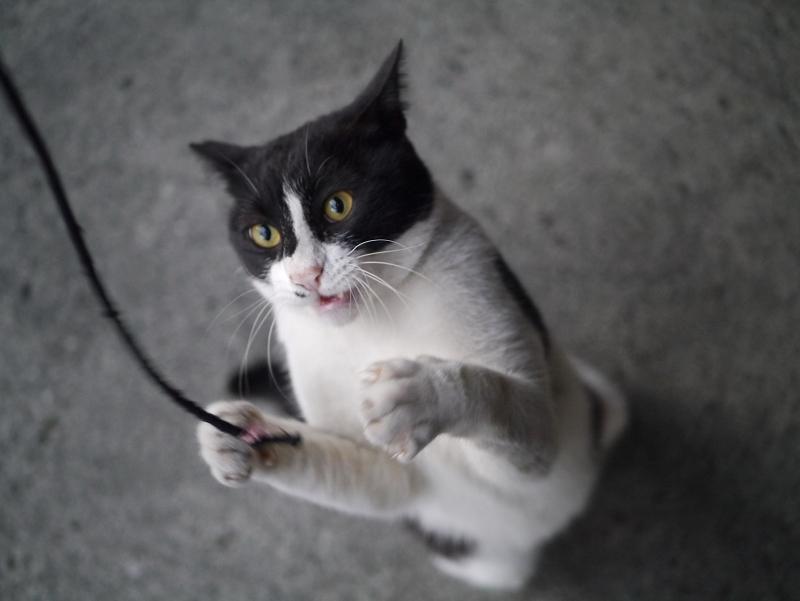 ゴム紐に飛びかかる黒白猫2