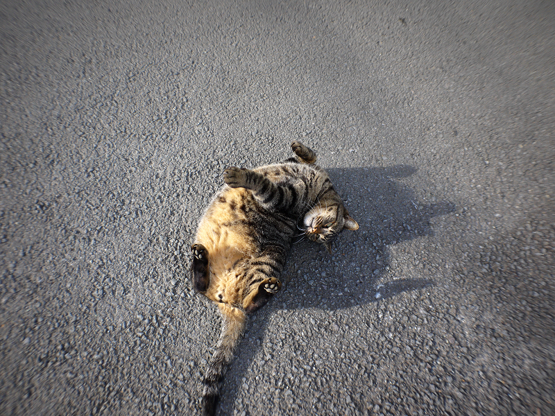 青空の下路地で転がるデカイキジトラ猫2